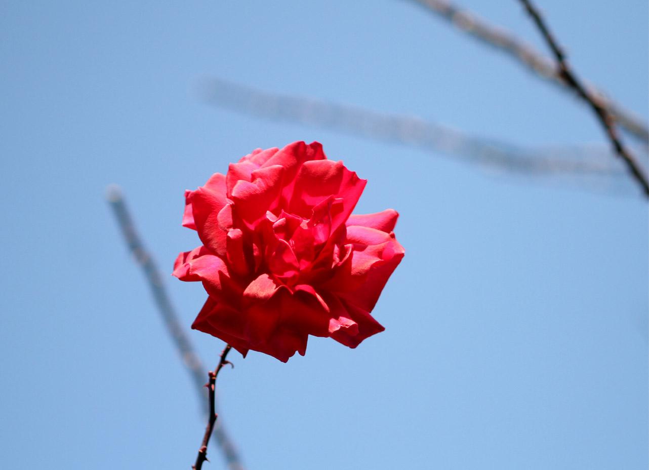 1月5日のバラ(16)