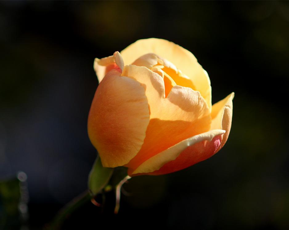 1月5日のバラ(18)