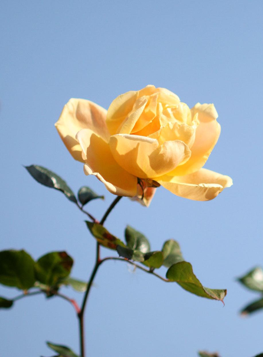 1月5日のバラ(19)