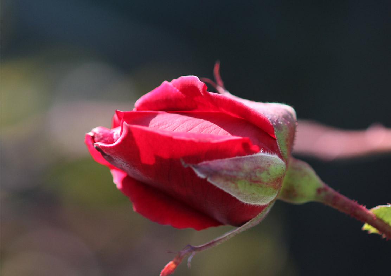 1月5日のバラ(21)