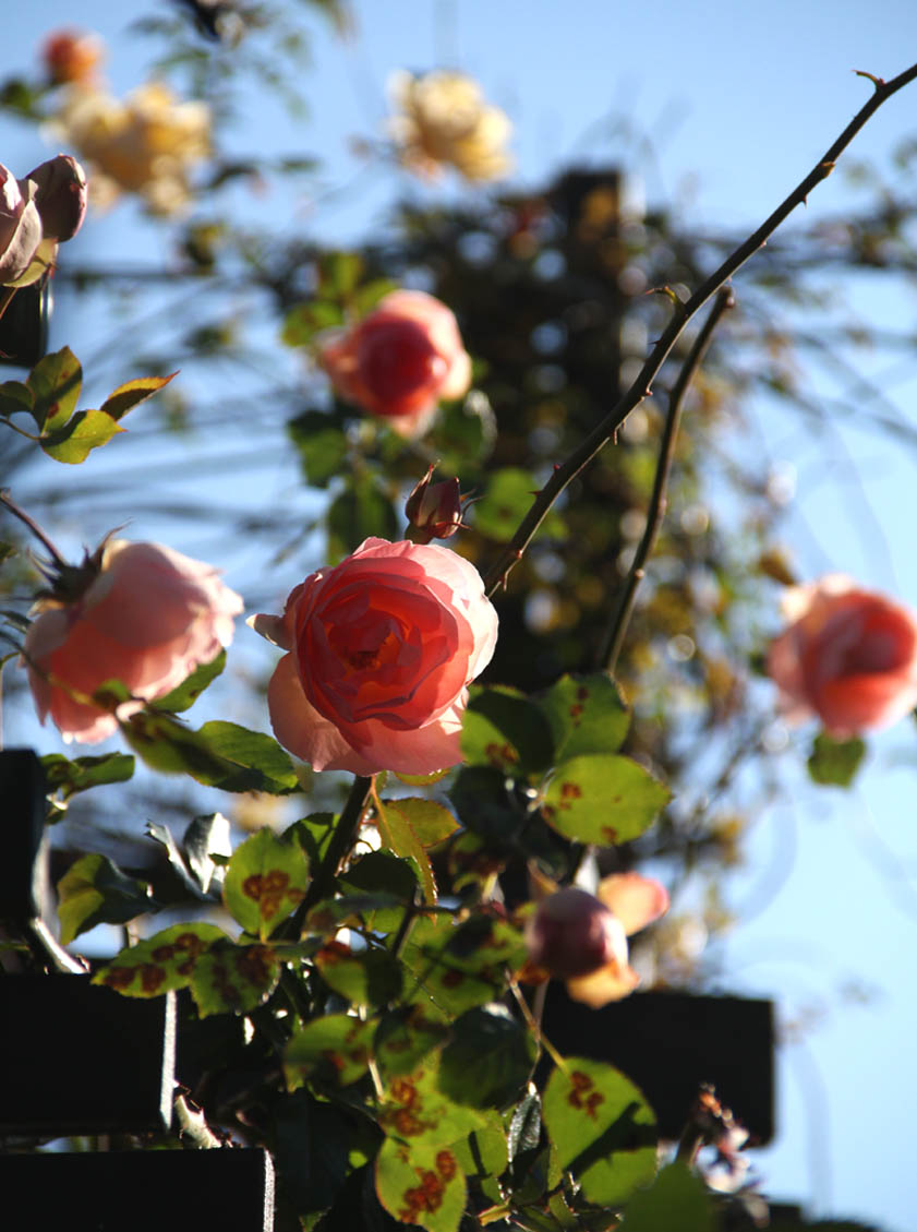 1月10日のバラ(4)