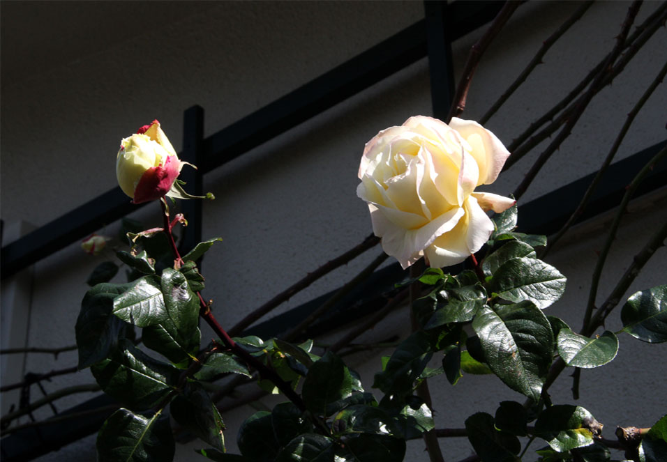 つるバラ 誘引美(7)