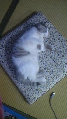 仙珠-デブ猫にしか見えない