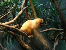 仙珠-多分、金糸猴