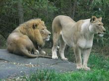 仙珠-ライオン