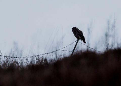 フクロウ33