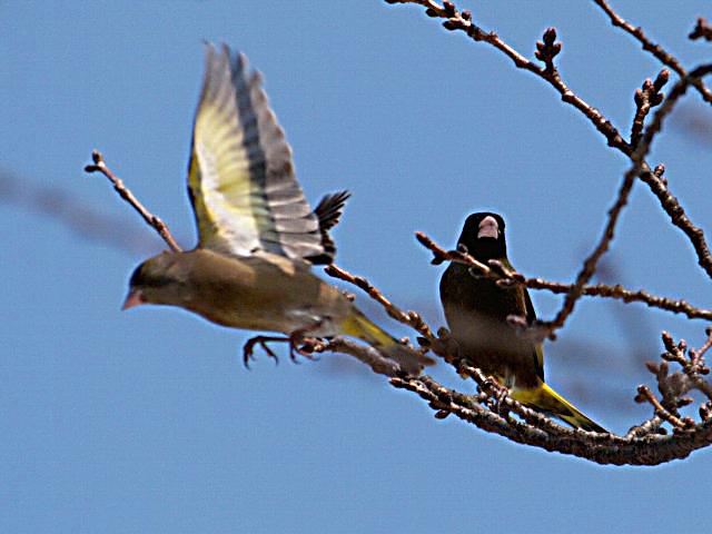 カワラヒワ 雌 (写真左:飛翔姿♀ 右:♂)