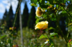 少しだけ残ったバラの花