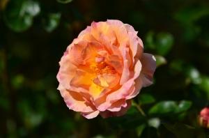 少しだけ残ったバラの花(ベル ロマンティカという品種)