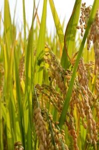 黄金色に色づいた稲