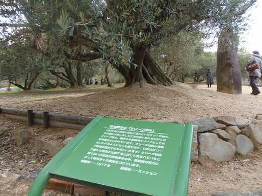 20151127 日本最古のオリーブ