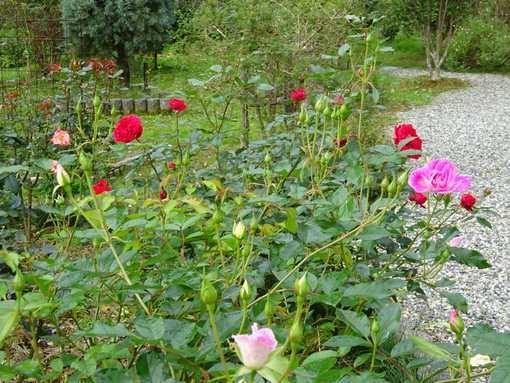 20151201 ガーデンのバラ