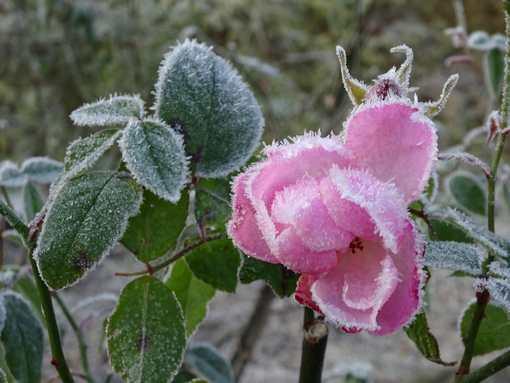 20160116 薔薇