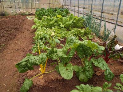 12.12ハウスの野菜たち