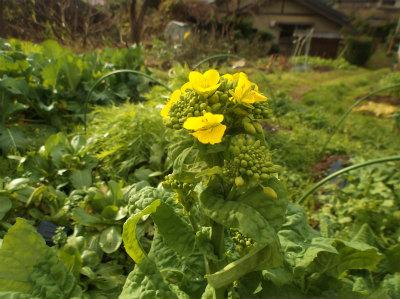 12.12菜の花
