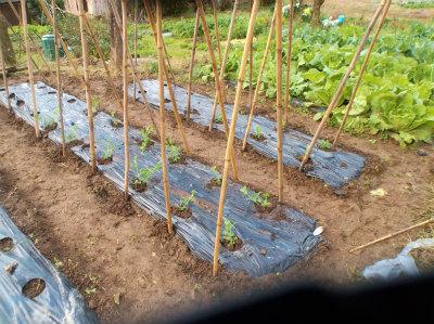 12.12エンドウの定植