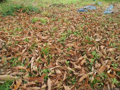 12.26栗の落ち葉