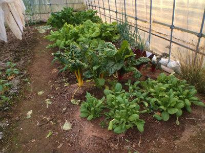 1.3ハウスの野菜