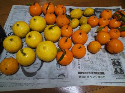 1.23採った柑橘