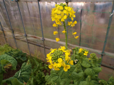 2.6ハウスの菜の花