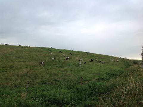 大規模草地 牛