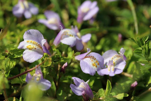 ムラサキサギゴケ(紫鷺苔)