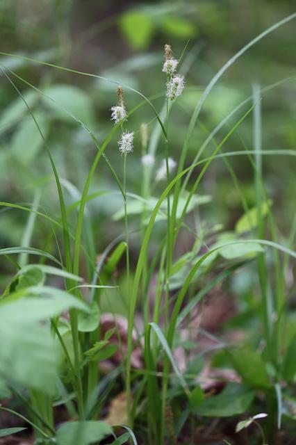 ヒゴクサ(肥後草、籖草)