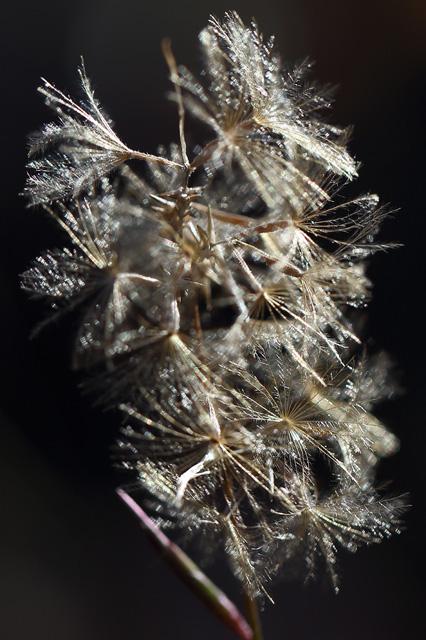 キッコウハグマの綿毛