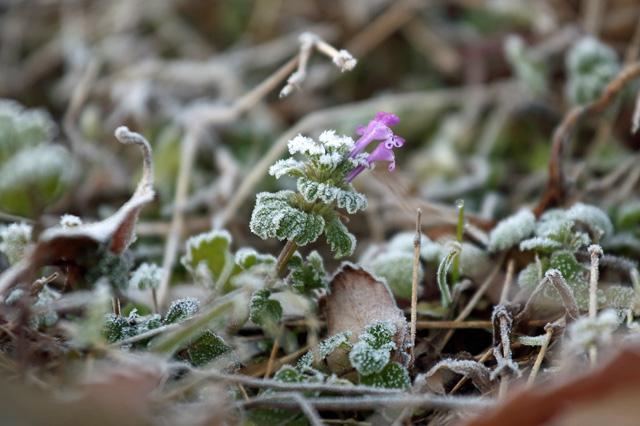 凍りながら咲くホトケノザ