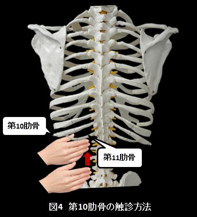 第10肋骨の触診方法