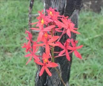 赤いマダガスカルのラン