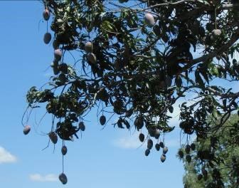 アップルマンゴーの木と実