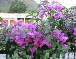 マダガスカルの紫のブーゲンビリア