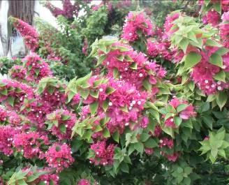 マダガスカルの赤い花のある木11月