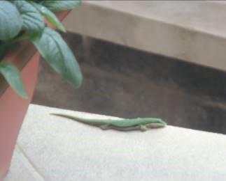 緑トカゲとベランダ