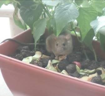 野ネズミがリンゴを食べている2