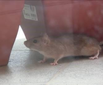 野ネズミ太っている