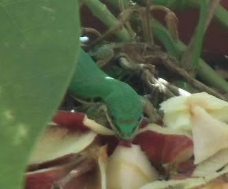 緑トカゲ、リンゴを食べている1