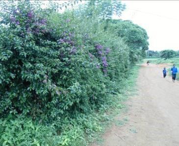 マダガスカルの花2月紫ブーゲンベリア