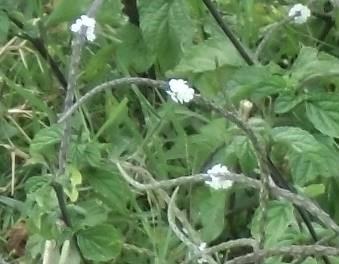 マダガスカル2月野草可憐な白い花