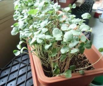 ソバの芽1週間
