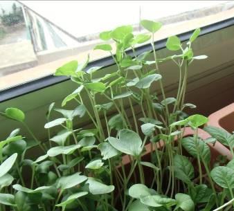 ソバの芽2週間