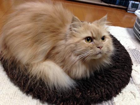 先住猫さん②2016.1.2