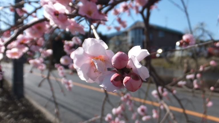 しだれ梅祭り