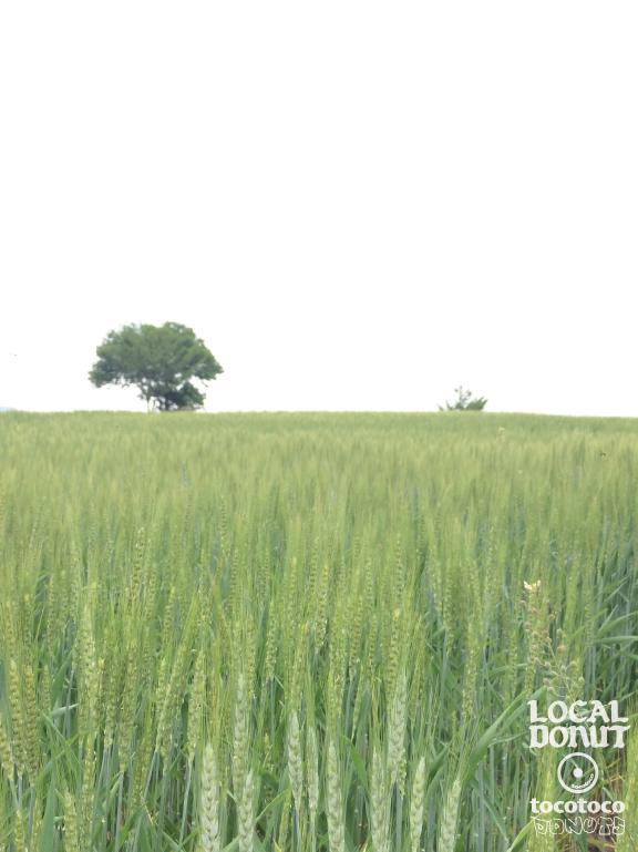 東御市八重原小麦