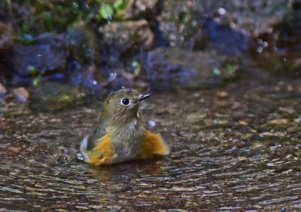ルリビタキ若水浴び1 -036