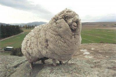 16-woolly-sheep.jpg