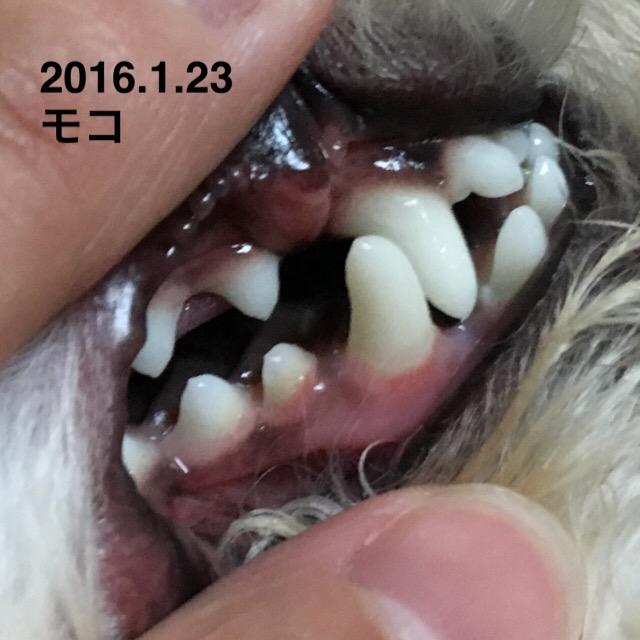 2016.1.23 モコの歯