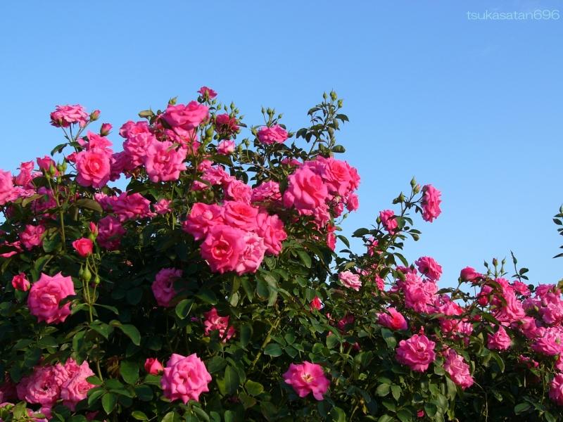 20121013_rose_01