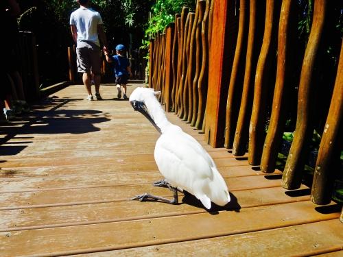 鳥歩いてる